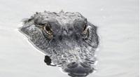 Cá sấu tấn công người, ngậm chặt thi thể suốt 1 ngày đêm nhưng cuối cùng vẫn bị ép nhè ra