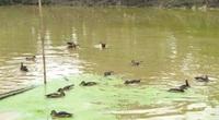 Tây Ninh: Nuôi loài le le dưới ao, nhác trông như con vịt mà bay cao như con chim, bán đắt tiền