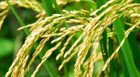 Một góc nhìn thực tế về tính an toàn của hạt gạo