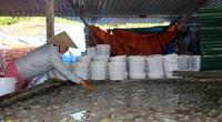 Quảng Ninh: Thương lái Trung Quốc ngừng mua, làng sứa Cô Tô hoang tàn lạ thường, dân chế biến sứa lỗ tiền tỷ