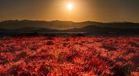 Hoa bỉ ngạn nở đẹp rực rỡ khắp đất nước mặt trời mọc