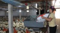 Giá gia cầm hôm nay 26/10: Doanh nghiệp rục rịch tăng giá thức ăn, người nuôi gà, vịt càng kiệt quệ