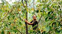 Hà Giang: Vùng đất trồng thứ cây đặc sản, trái treo đầy cành, hái hàng tấn mà nhiều người vẫn hỏi mua thêm