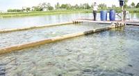 Bắc Ninh: Nuôi cá dày đặc theo công nghệ sông trong ao, bắt cả chục tấn, toàn con to khỏe