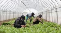 Trồng rau an toàn, nông dân đất Thanh Trì có thu nhập 650 - 700 triệu/ha/năm