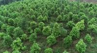 Quảng Ninh: Lạ, ông tỷ phú nông dân trồng loài cây xanh ngắt nhưng ra thứ hoa quý bán đắt như giá vàng