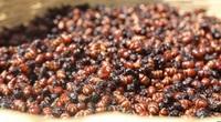 Lạ lùng đặc sản kiến mông to có cái bụng bự đầy nhóc trứng, thơm ngon như hạt lạc