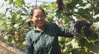 Hà Nội: Trồng cây quả ra từng chùm, chín tím rịm sai trĩu, thương lái đến tận vườn cứ hỏi còn không