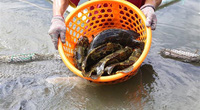 Nuôi cá mú đặc sản trong ao nước mặn, nông dân tỉnh Khánh Hòa khá giả lên