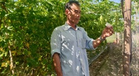 Tây Ninh: Ông nông dân dùng thứ cây có mùi lạ để đuổi côn trùng, cây ra trái bự ngon sạch không có mà bán