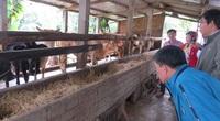 Phú Yên: Nấu cháo nuôi vỗ béo những con bò lai 3B to bự, nuôi con nào bán lời con đó