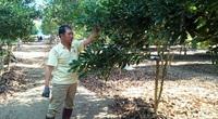 Trồng thứ cây ra quả từng chùm xanh lét, bán đắt tiền, một ông nông dân tỉnh Lâm Đồng thành tỷ phú