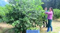 """Tuyên Quang: Nông dân đổ xô trồng chanh tứ quý, ngành chức năng cảnh báo """"nóng"""""""