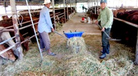 """Long An: Nông dân đổ xô mua bò gầy trơ xương về """"tẩm bổ"""", 2 tháng sau bán lời cả trăm triệu"""