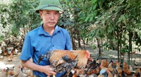 """Một ông nông dân tỉnh Quảng Ninh nuôi loài gà khi sống khen đẹp, khi """"chết"""" khen ngon, có khách mua xách sang bên Mỹ"""