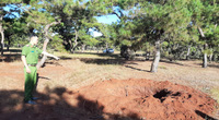 Vụ đào trộm rừng thông quý hiếm: Tỉnh Gia Lai chỉ đạo điều tra