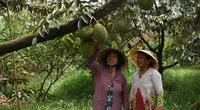 Bến Tre: Bí quyết trồng sầu riêng ra nhiều trái, cứ 1 công đất thu lời 100 triệu đồng, nông dân là tỷ phú