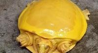 """Bắt được rùa vàng quý hiếm bậc nhất: Đổi đời nhờ """"thần tứ linh"""""""