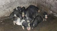 9 giống lợn bản địa, lợn đặc sản nào đang được các tỉnh miền Bắc đưa vào diện bảo tồn?