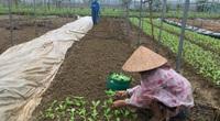 Đà Nẵng: Hội Nông dân tập trung hỗ trợ nông dân khôi phục trồng trọt, chăn nuôi sau bão lũ