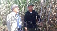 """Hậu thực thi Hiệp định ATIGA: Gắn bó với cây mía, nông dân vùng cao """"sống khỏe"""""""