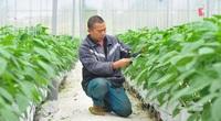 Lâm Đồng: Trồng ớt baby, trái chưa lớn HTX đã đặt mua, có 3 sào mà chủ vườn thu hàng trăm triệu