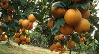 Bắc Giang: Trồng cây vỏ đầy tinh dầu, ruột cho múi thơm ngọt, nông dân thu hơn 2.000 tỷ đồng/năm