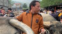 Chợ trâu, bò lớn nhất Bắc Kạn, mỗi phiên giao dịch 1.500 con, kiểm soát bệnh viêm da nổi cục thế nào?