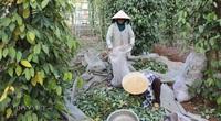 """Giá tiêu tiến sát 60.000 đồng/kg, """"ông trùm"""" xuất khẩu hồ tiêu Việt Nam khuyên gì?"""