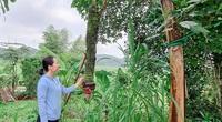 Hà Tĩnh: Dân cả 1 vùng kéo đến xem buồng chuối hơn 100 nải ở Hương Sơn