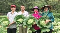 Lào Cai: Vùng biên cương trồng bắp cải, cây nào cũng to đùng, cuộn chắc nịch bán được giá