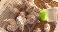 Nuôi chuột bạch, sinh kế mới của người dân Cù Lao Dung