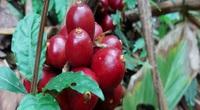 Trồng cây dược liệu trong rừng sâu, nông dân vùng cao Điện Biên đã có sinh kế thoát nghèo