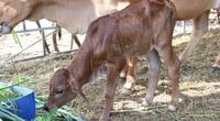 """Đàn bò tót từng bị bỏ đói ở Ninh Thuận nay đã sinh """"hậu duệ"""" F3"""