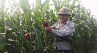 Vĩnh Phúc: Trồng ngô không lấy hạt, cây còn xanh rờn đã chặt bán thân, bán lá, nông dân ở đây cứ trồng là khá