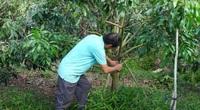"""Bí kíp chăm sóc cây nhãn sau thu hoạch: Không còn tình trạng """"Năm ăn quả, năm trả cành"""""""
