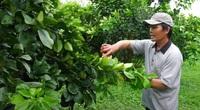 Lý do nông dân An Giang trồng bưởi năng suất cao