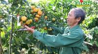 Đắk Nông: Đem cam Canh trồng xen cà phê, ban đầu lo lo, sau ông nông dân bất ngờ vì nhiều người đến xem