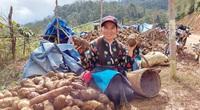 Lào Cai: Vùng đất quen trồng thứ sâm lạ, đào củ đổ đống bán rẻ hơn khoai mà thu 10 tỷ đồng