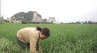 Nông dân Ninh Bình trở lại ruộng với nhiều nỗi lo