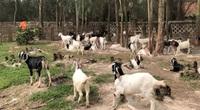 Bí quyết nuôi dê thành công của trang trại dê DTH FARMT