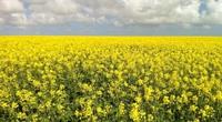 Chấp thuận trồng cây biến đổi gen ở Nam Úc