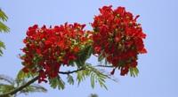 Mê mẩn ngắm loài hoa báo hiệu hè về nở đỏ rực góc trời Hà Nội