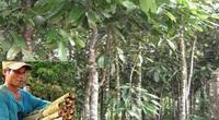 Quảng Ngãi: Vì sao đề án vùng trồng chuyên canh cây quế mới khai sinh đã xin khai tử?