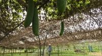 Đà Nẵng: Nắng nóng ngưỡng 40oC, dân trồng rau chật vật ứng phó