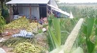 Trà Vinh: Trồng bắp ngỡ trúng mùa, ai dè bắp không ra hạt, nông dân cầu cứu