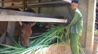 Giữa mùa hạn, đàn bò ở đây vẫn béo mập nhờ thứ cỏ lai, trồng 1 lần thu 7 năm