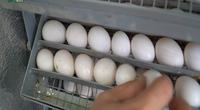 Ấp trứng chim thay cho bố mẹ: Thu lại hiệu quả bất ngờ