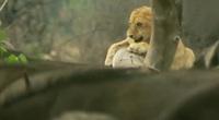 Sư tử sợ hãi leo lên cây khi bị đàn trâu phản đòn