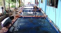 Ương cá trê vàng trong hồ dã chiến, mỗi năm bán 1 tỷ con, đầu tư 5 đồng lời 3 đồng